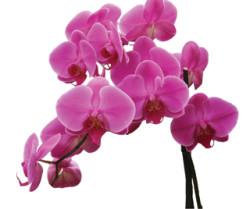 orchidea_03