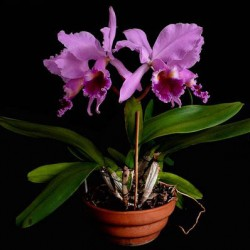 Brazil-National-Flower-Cattleya-Labiata_pot