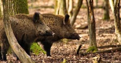 Kiirtanák a vaddisznók felét Magyarországon