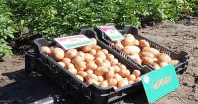 Nem meglepő, hogy kifogyott a magyar krumpli