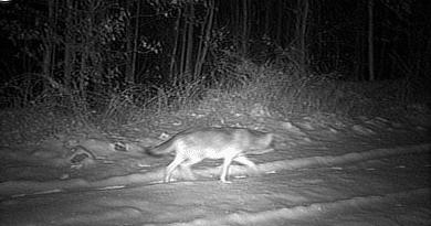 Kameracsapdával fotóztak farkast a Börzsönyben