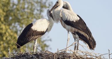 Közel negyedével csökkent a hazai fehér gólya állomány, Vácon sincs már fészkük?