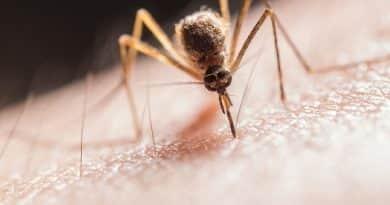 Merész ötlet: 750 millió génmódosított szúnyogot engednek szabadjára