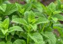Magyar kutatás hozhat óriási változást az egyik népszerű gyógynövény termesztésében