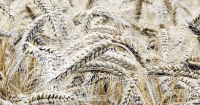 Tudomány: gluténmentes búza génszerkesztéssel?