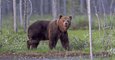Ha medvével találkozol a Börzsönyben, kapd elő a csengődet