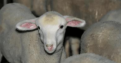Sokan megennék a klónozott állatok húsát is