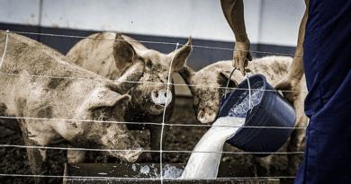 Csörögi sertésbukta: nem etethető a disznókkal a moslék