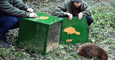 Meggyógyult a beteg hód, visszaengedték a Dunába