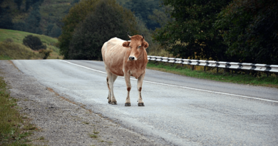Gyorshír: kóborló állatokkal találkozhatnak az autósok